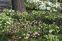 Hellebores in bloom under tree with Daffodils