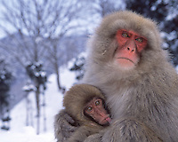 Mother Japanese macaque (snow monkey) nursing baby in snow, Honshu Island, Japan.