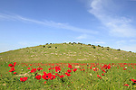 03-Anemone flowers in Lachish region