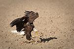 Bald Eagle (haliaeetus leucocephalus) dining on deer carcass