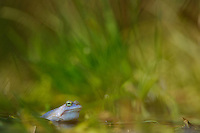 Moor Frog male (Rana arvalis), Europe.