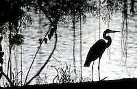 11/05/06--TAMPA--A Great Blue Heron stands near the bank of the Hillsborough River off of Riverside Drive in Tampa Sunday. Photo by Julie Busch Branaman