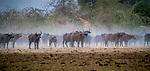 Central Africa , Sudanese buffalo (Syncerus caffer brachyceros) , Kordofan giraffe (Giraffa camelopardalis antiquorum)