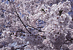 Cherry blossom tress in full bloom at the Cherry Blossom Festival held in Oyo Park near Hirosaki Castle in Aomori Prefecture in Northern Honshu, Japan. Over 1500 cherry trees come into bloom from late April to Early May. (Jim Bryant Photo).......