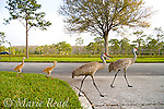 Greater Sandhill Cranes (Grus canadensis) (Florida race), 2 adults and chicks crossing a road, Kissimmee, Florida, USA