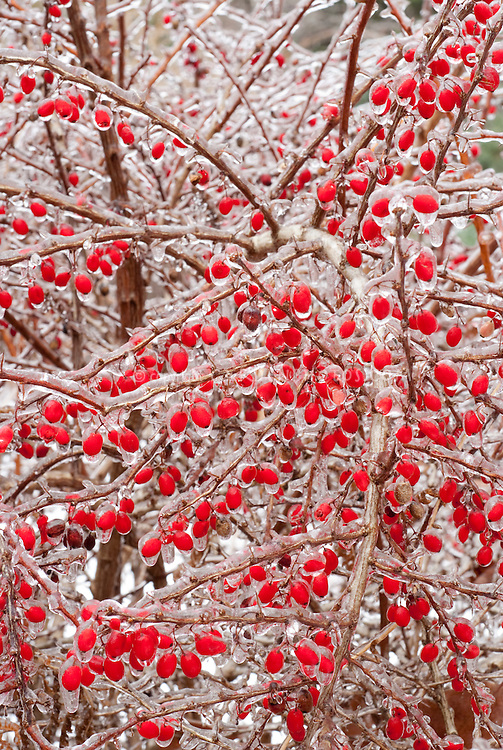 Berberis thunbergii barberry berry - fruit, ice red berries in winter iced snow