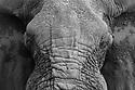 African elephant (Loxodonta africana), close-up of mud-covered head, Botswana, Okavango Delta, Moremi Game Reserve