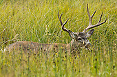 Mule deer grazing in meadow, Yosemite National Park