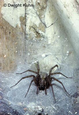 SI17-005z  House Spider - Tegenaria domestica