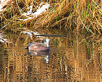 A male American Widgeon (Anas americana) is on a pond with wave reflections of the dry grass and snow on the bank.  The color of the widgeon is nicely mirrored with the colors of the grass and snow.