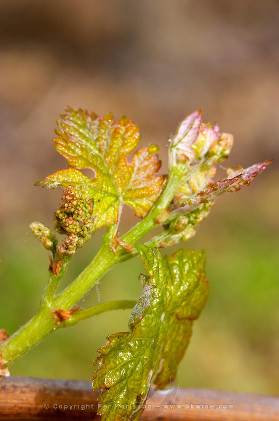 new leaves and flower buds ch gd barrail lamarzelle figeac saint emilion bordeaux france