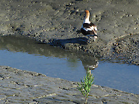 An Avocet chick heads for the warmth it will find tucked under the adult's wing.
