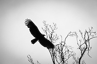 A Turkey vulture with its wings spread wide soars past the winter-bare limbs at the top of a tree in the San Leandro City Park on a dreary winter afternoon.
