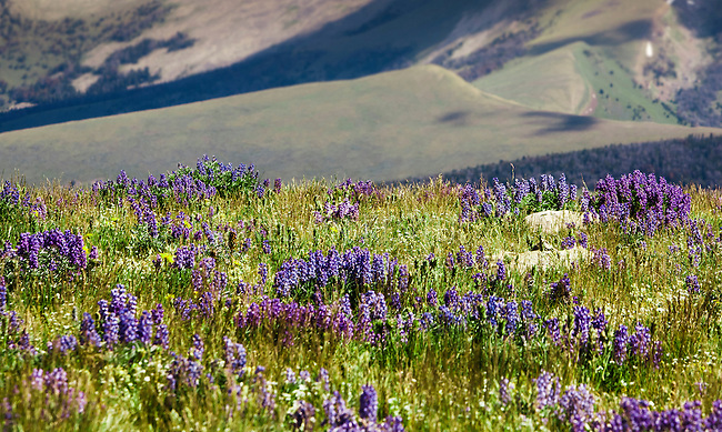 Blooming lupine wildflowers on the open hills in the Snowcrest Mountains of western Montana