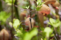 A dragonfly clutches a branch over the cobra lilies at Darlingtonia Bog.