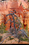 Dead Tree, Fairyland Canyon, Bryce Canyon National Park, Utah