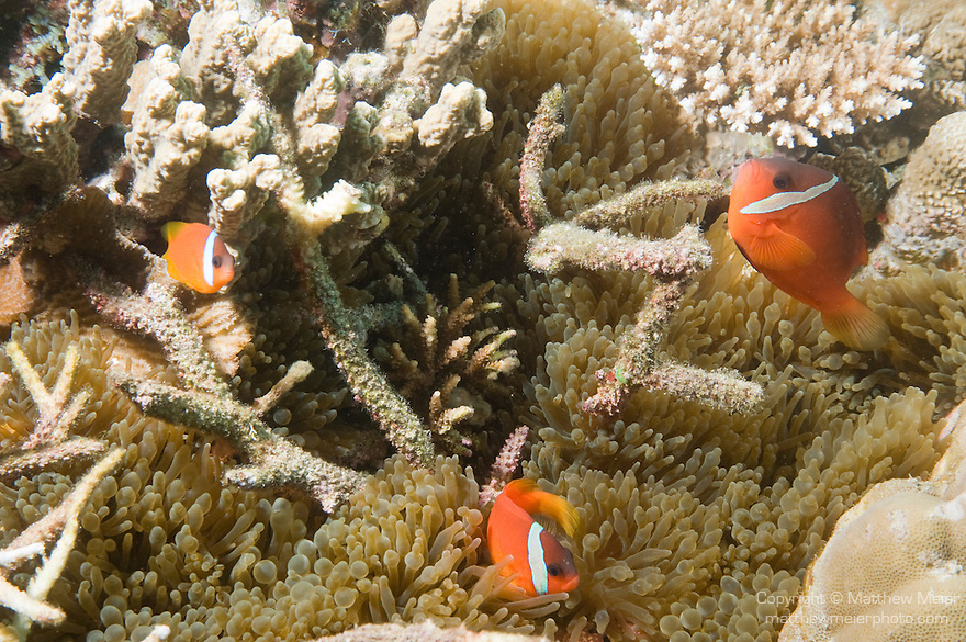 Paradise House Reef, Taveuni, Fiji; three Red and Black Anemonefish (Amphiprion melanopus) swim amongst a Bubble-tip Anemone (Entacmaea quadricolor) tucked into the coral reef, this entirely red-orange variation with the white head bar occurs in Fiji and French Polynesia