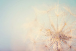 close up shot of a dandelion with the sky behind it