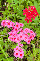 168210004  red drummonds phlox phlox drummondi puts forth brilliant red and pink flowers in a field in de witt county texas