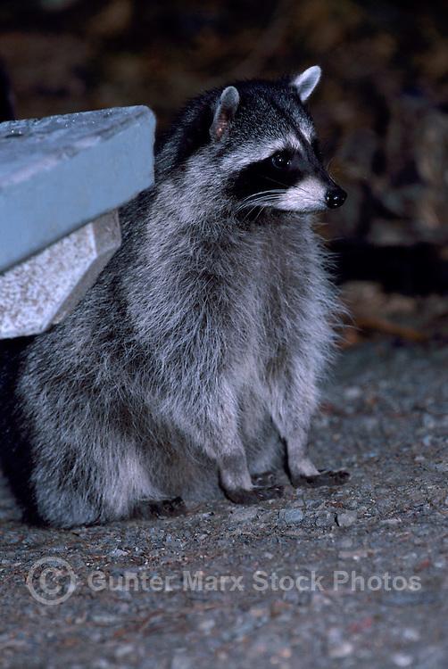 Wild Raccoon (Procyon lotor) standing at Night