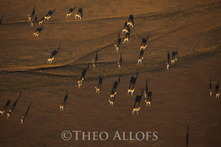 Namibia;  Namib Desert, Skeleton Coast,  herd of springbok (Andidorcas marsupialis) on plateau near Hoanib River, aerial view