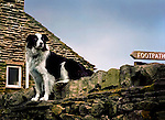 A black and white sheepdog sitting on a stone wall