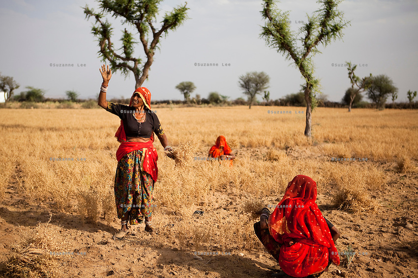 Choti Devi (left), aged 63, harvests Bengal Gram from her field in Balaji ki Dhani, Bauli, Nagaur District, Rajasthan, together with hired labour. Barefoot solar engineer Santosh Devi who graduated from a  solar course in the Barefoot College in Tilonia, Ajmer, Rajasthan, India, had provided Choti Devi with solar power and lanterns improving her life by allowing her to protect herself from poisonous monsoon insects and work late in the fields, cook in the night, and protect her cattle when they return from grazing after sunset. Photo by Suzanne Lee for Panos London