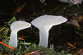 Toothed Jelly Mushroom or White Jelly Mushroom (Pseudohydnum gelatinosum), Marcola, Oregon, USA
