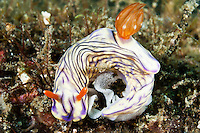 Hypselodoris nudibranch laying eggs, Lembeh Strait, Sulawesi, Indonesia. The Lembeh Strait in N Sulawesi is famous for its unusually high marine biodiversity, particularly of unusual animals that live on the exposed sand areas.
