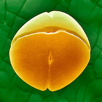 Frog ,Rana pipiens, embryo showing cells dividing to form the 4-cell stage. SEM X110  **On Page Credit Required**