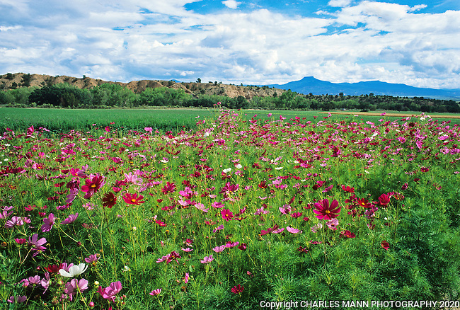 A field of red and pink  cosmos flowers makes a colorful foreground for the blue flat topped form of Cerro Pedernal on the horizon at the Ghost ranch retreat center near the northern New Mexico village of Abiquiu.
