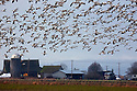 WA08153-00...WASHINGTON - Snow geese in flight over farms on Fir Island in the Skagit River Delta.