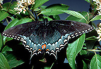 Lovely Eastern black swallowtail with wings spread out on flowers, Midwest USA