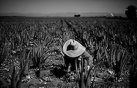 WESTMORLAND, CA:   A Worker harvests Aloe branches at Al Kalin's s farm in Westmorland, CA.