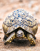 Leopard Tortoise.  I can only speculate on how the Leopard Tortoise got its name because it isn't in my interest to google it up.  I presume it is because of the speed at which it sneaks up on a tasty blade of grass.