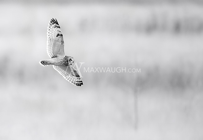 Short-eared owls are one of my favorite photo subjects in the Pacific Northwest.