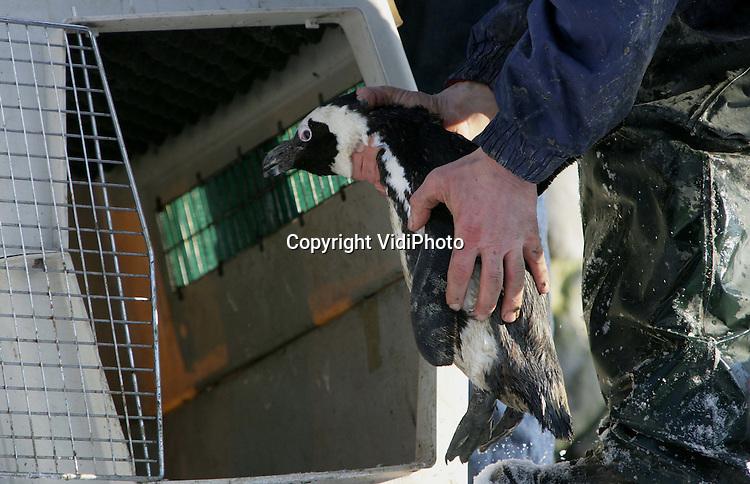 Foto: VidiPhoto..ARNHEM - Dierverzorgers van Burgers' Zoo in Arnhem hebben maandag de 48 zwartvoetpinguïns van het park gevangen en naar een ijsvrij binnenverblijf gebracht vanwege de dreigende nachtvorst van 15 graden onder nul. De dieren, die uit het tropische Zuid-Afrika komen, kunnen bevriezen of onder het ijs terecht komen en verdrinken. Wat weinig mensen weten is dat van de dertien soorten pinguïns er maar drie soorten tegen de kou kunnen.