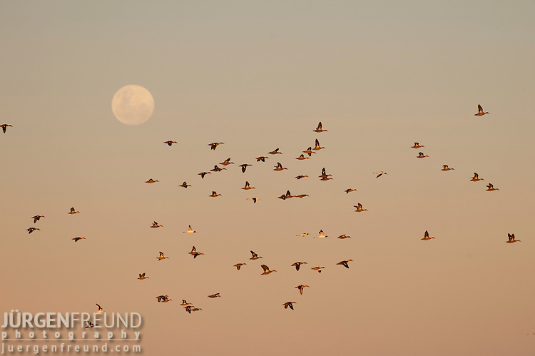 Ducks and Red-necked Avocet (Recurvirostra novaehollandiae) in Lake Eyre from the shores of Halligan Bay with the full moon rising