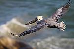 Brown pelican flying over surf in Pismo Beach