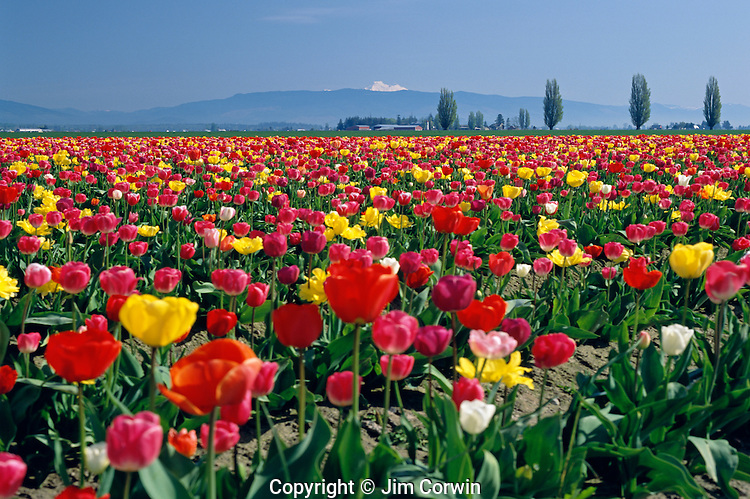 Multicolored tulips in field with Mount Baker in field Skagit County near Mount Vernon Washington State