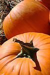 Orange pumpkin with twisted stem