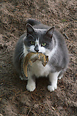 Tabby cat with a chipmunk in her mouth.