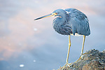 Ding Darling National Wildlife Refuge, Sanibel Island, Florida; a Tricolored heron (Egretta tricolor) bird stands on rocks at the water's edge, fishing for food © Matthew Meier Photography, matthewmeierphoto.com All Rights Reserved