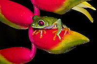 A Red-eyed Tree Frog (Agalychnis callidryas) male atop a Heliconia, looking for a good vantage point to attract a mate, Bocas del Toro, Panama