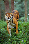 Indian tiger, indigenous to Southeast Asia. (captive)