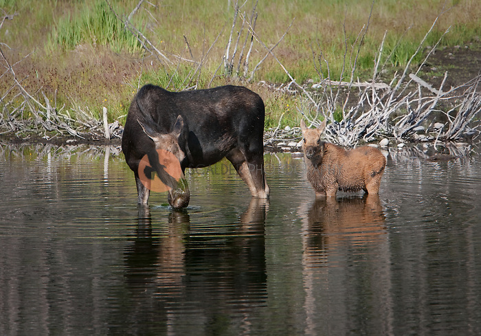 Moose and her calf standing in the water,facing the viewer.  Adult moose is drinking from the pond