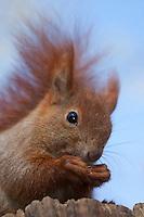 Eichhörnchen, Europäisches Eichhörnchen, frisst eine Haselnuss, Haselnuß, Nuss, Nuß, Sciurus vulgaris, European red squirrel, Eurasian red squirrel