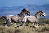 A pair of wild mustangs roam the hight desert of northwest Colorado.