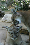 Cougars grooming, captive
