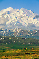 Mount McKinley, (Denali) Caribou feed on the tundra under North America's highest mountain, summer, Denali National Park, Alaska